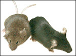 Two transgenic mice.
