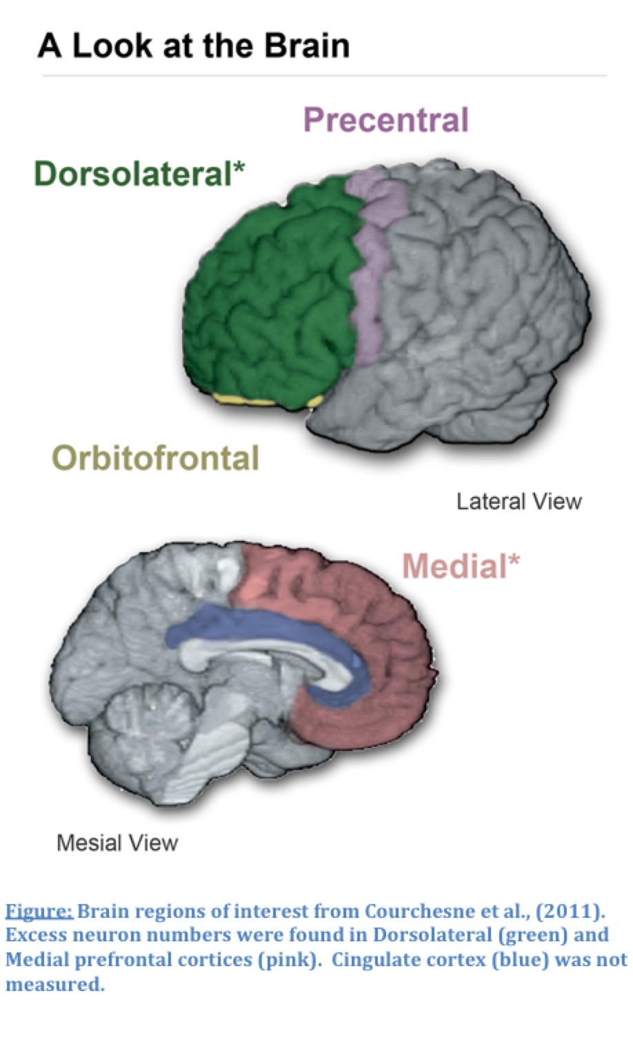 A Look at the Brain